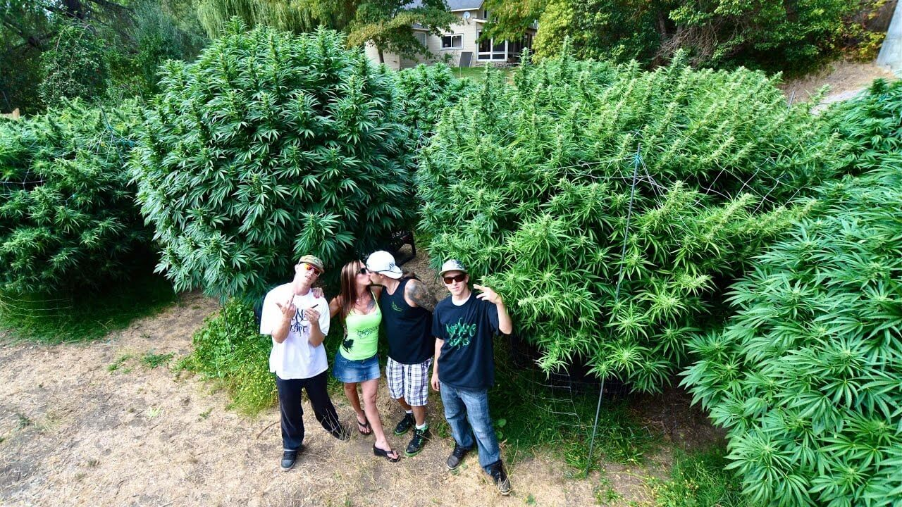 How To Grow Monster Cannabis Plants International Highlife