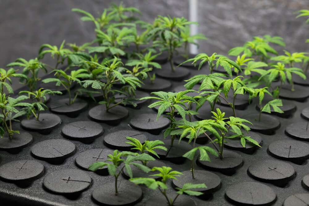 The Stages of Cannabis Clone Growth
