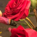 Rose Blunt, The Latest Trend in the Cannabis Industry