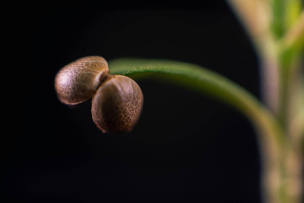 The Ultimate Guide to Cannabis Seeds