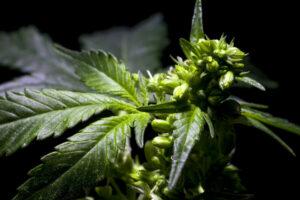 Male Cannabis Plant VS Female Cannabis Plant