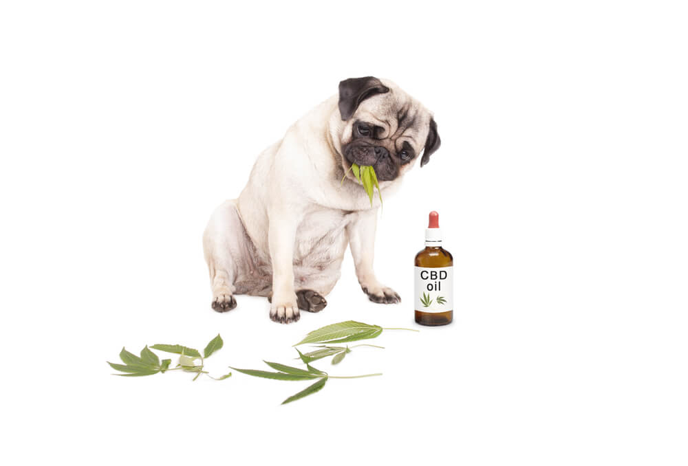 5 Reasons To Use CBD For Your Dog