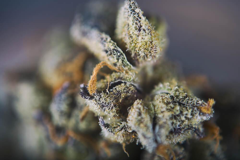 Cannabis Terpenes Girl Scout Cookies