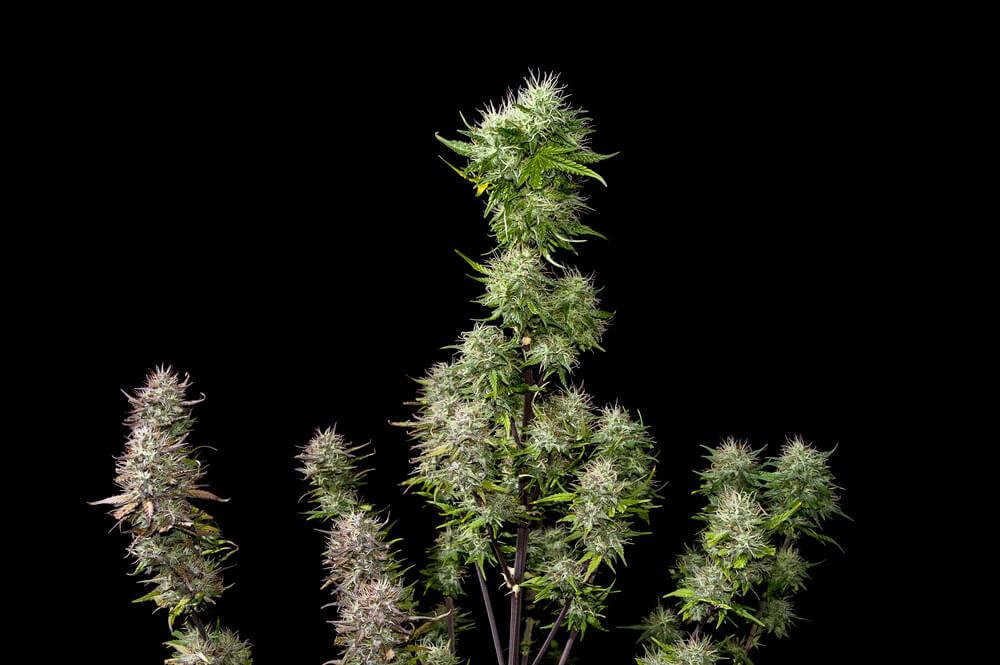 How Many Marijuana Plants Should You Grow?