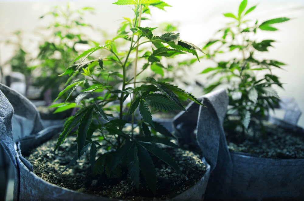 how many marijuana plants should you grow