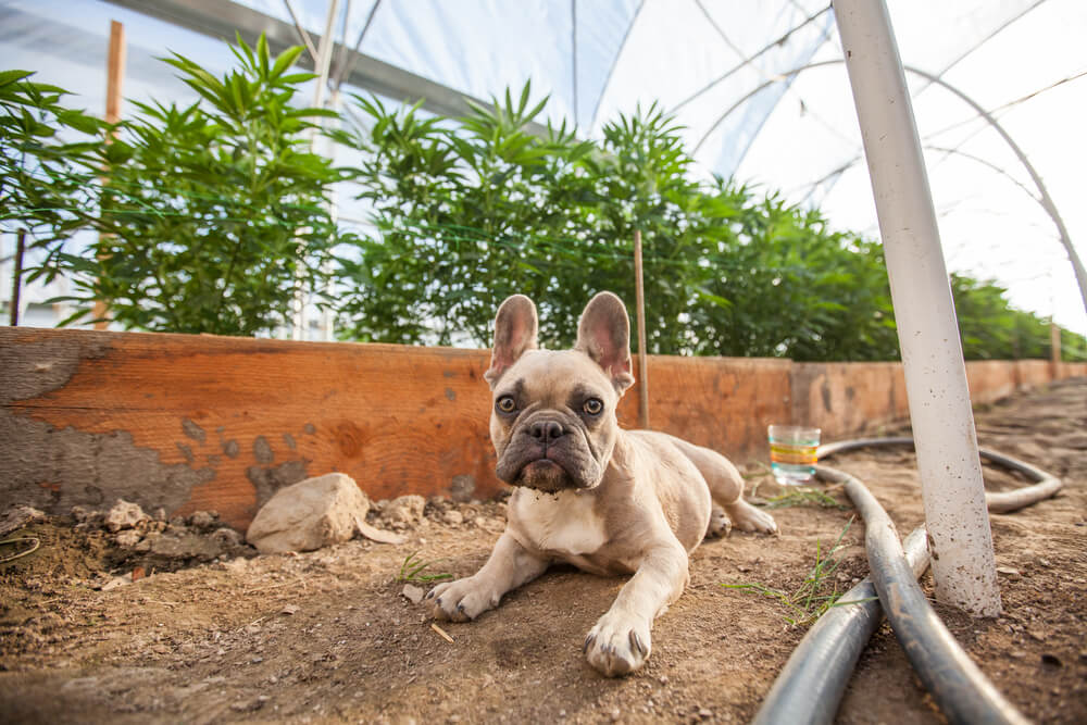 Cannabis for Dogs: What Are the Benefits?