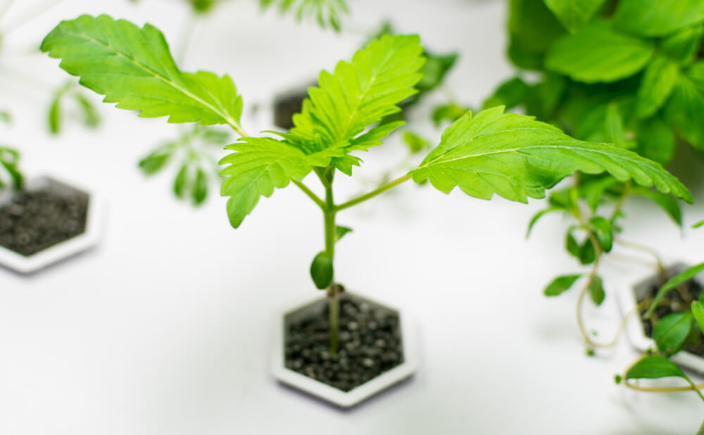 Cannabis Grow Hydroponics