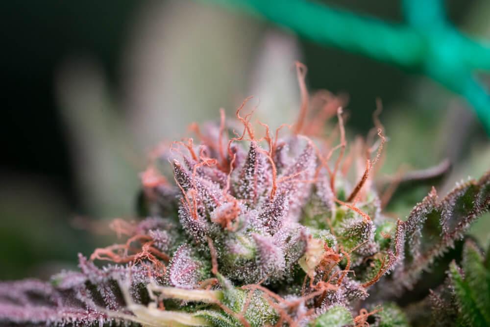 Cannabis Plant Genetics