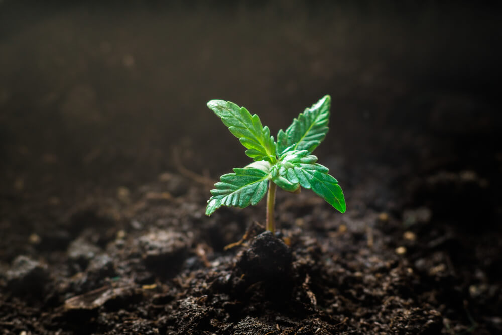 Marijuana Seedling Phase