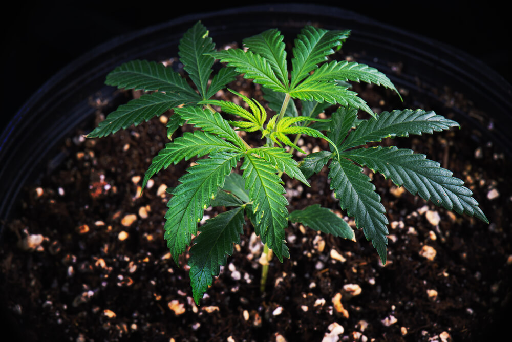 Cannabis Vegetative Stage (Green Crack)