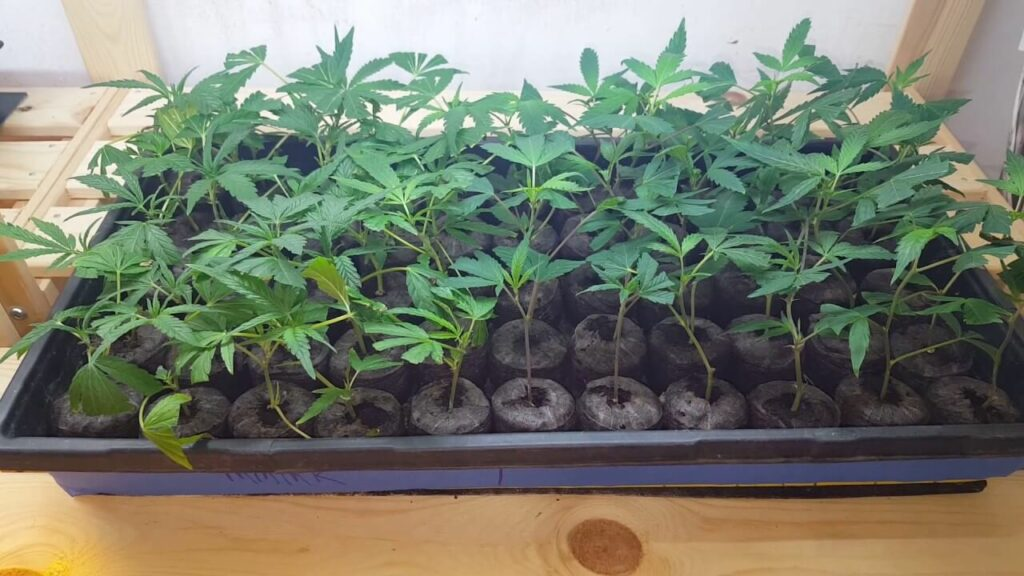 Marijuana seedlings ready to be planted!