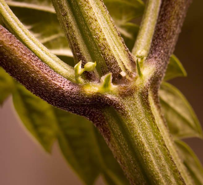 male preflowers
