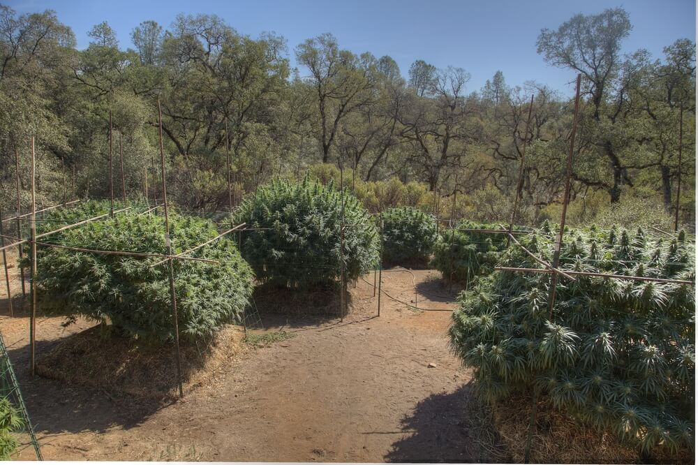 Outdoor Marijuana Growing: Doing Things The Natural Way!