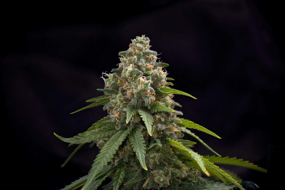 Cannabis Pistil
