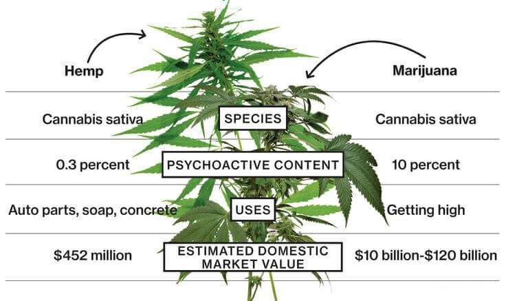 Hemp VS Marijuana - The Differences
