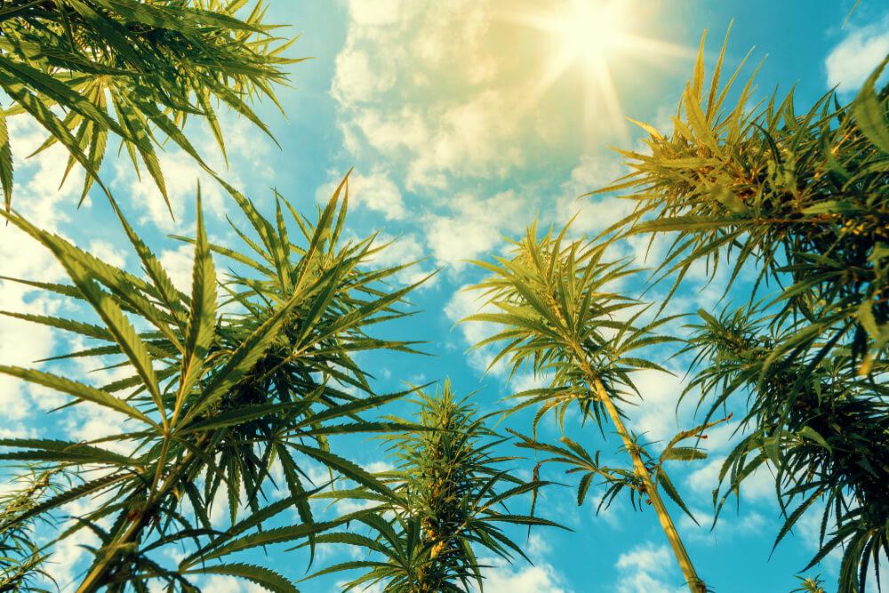 Canadian Survey: Black Market Cannabis Is $3 Cheaper Per Gram