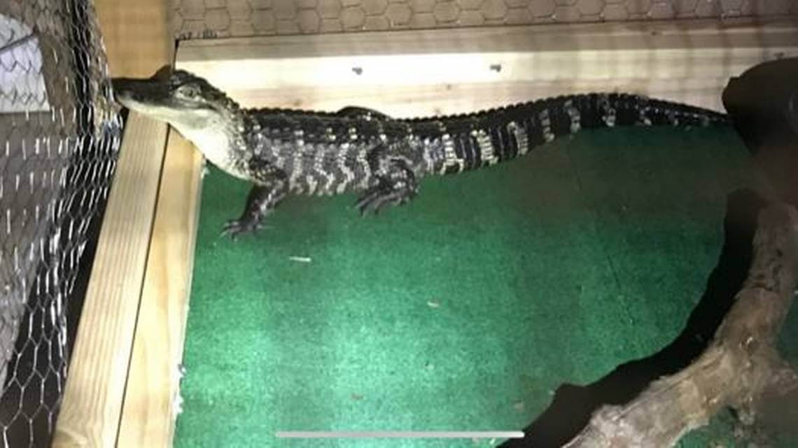 Drug Dealers Used An Alligator Named 'El Chompo' To Guard Drugs And Money