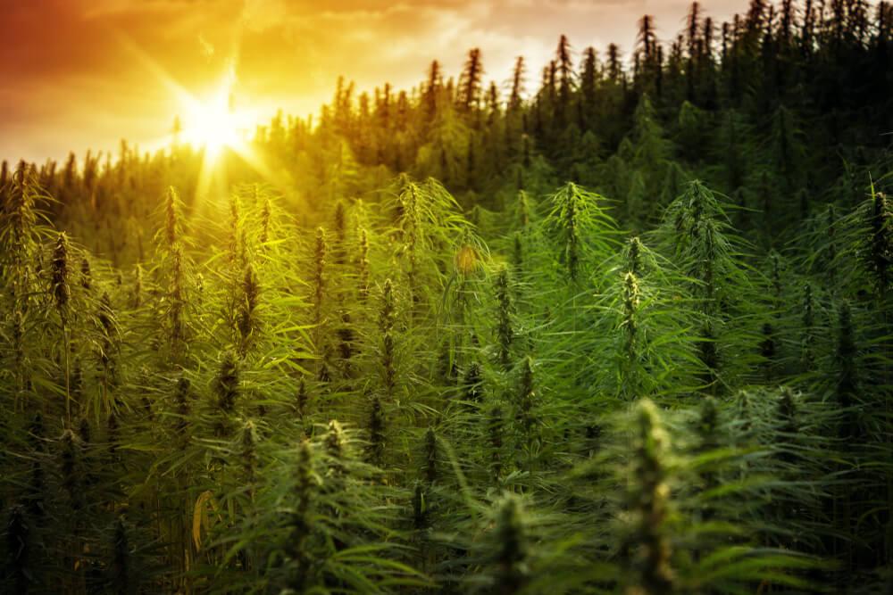 WHO Recommends Rescheduling Cannabis Under International Treaties