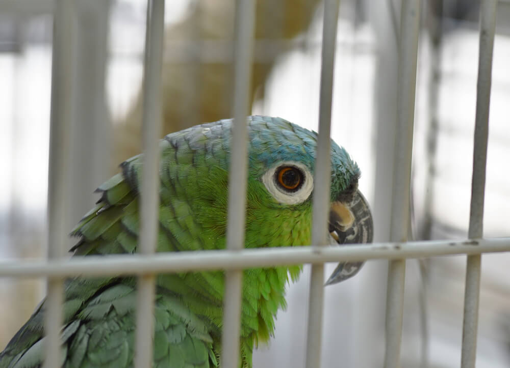 Parrot Detained After Alerting Owners About Drug Raid