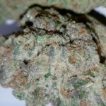 Brownie Scout Strongest Cannabis THC Strain