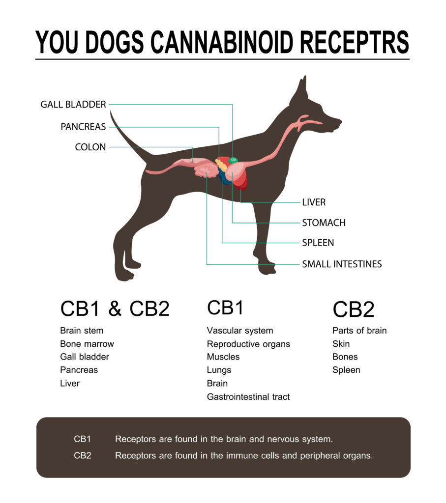 Cannabinoid Receptors - How does CBD for dogs work