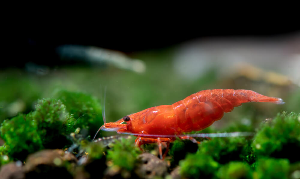 Study Reveals Shrimps Are Doing Cocaine, Ketamine, Xanax, And Valium