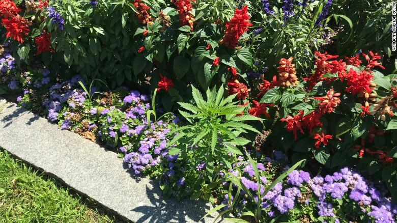 Weed Found Growing In State Government Garden