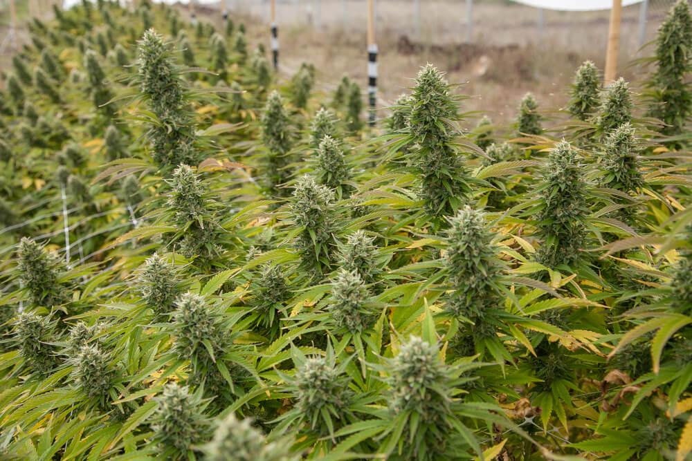 Hawaii Just Decriminalized Cannabis