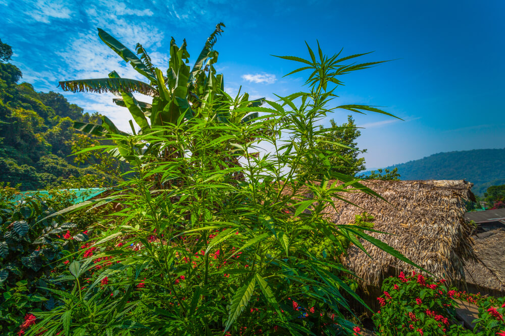 Yep, Thailand is offering to pay citizens to grow weed