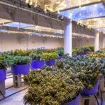 Cann10 Epigenetics Weed