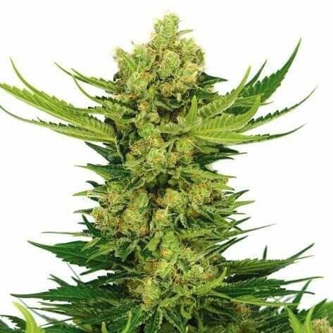 Cheese Autoflower Strain by I Love Growing Marijuana