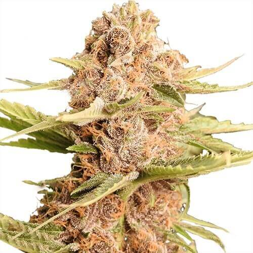 Girl Scout Cookies Extreme Autoflower Seeds