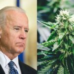 Joe Biden against a cannabis plant