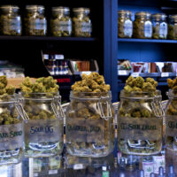 Glasses filled with cannabis buds in a marijuana dispensary