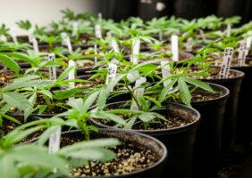 Young marijuana plants