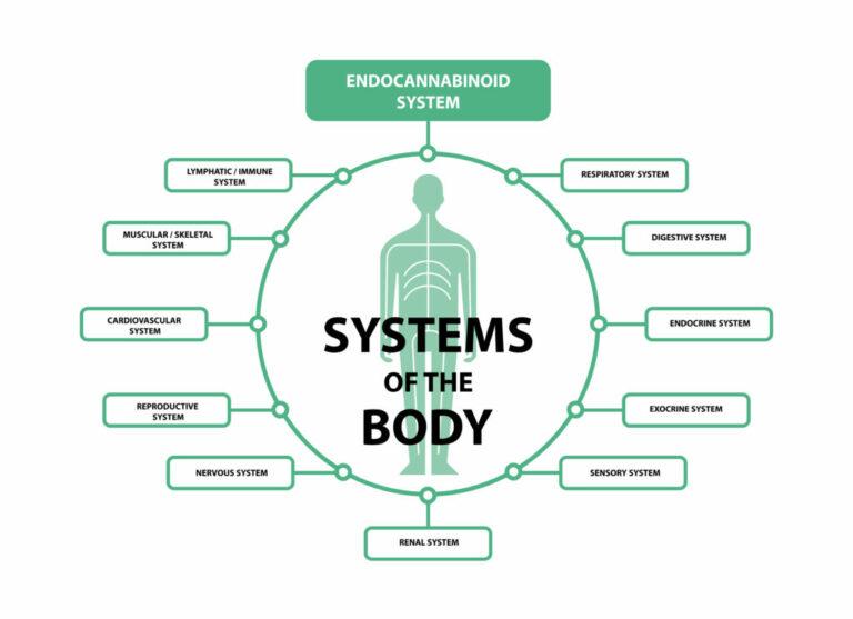 Endocannabinoid System Fundamental For Health