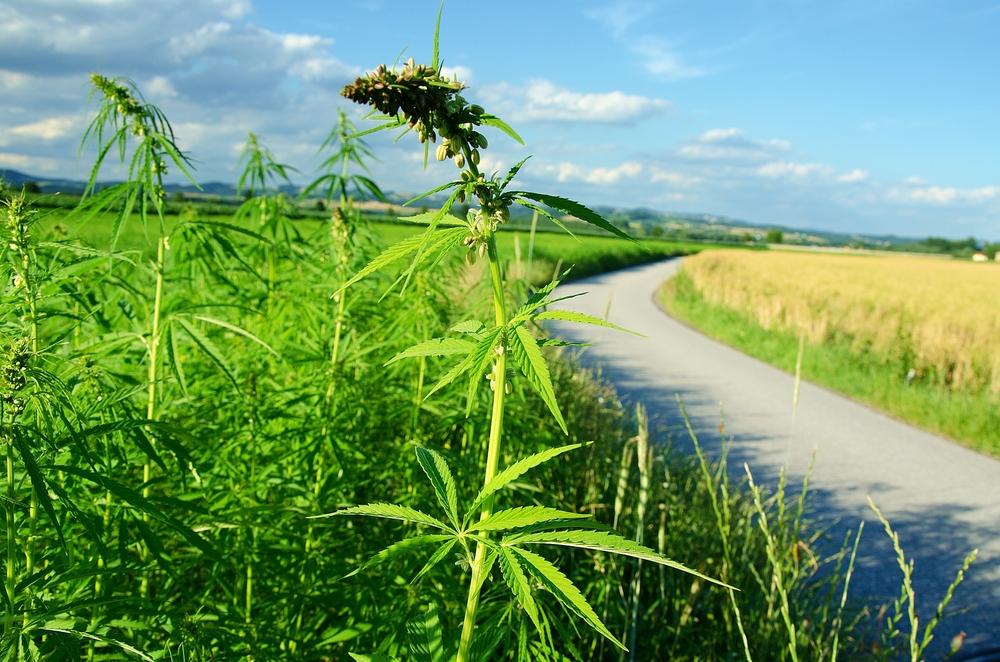 Hemp plant contains no THC