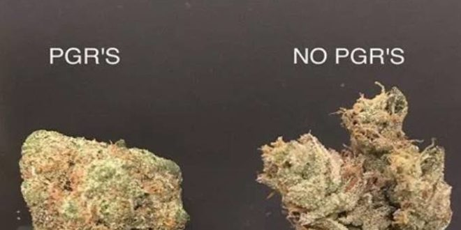 Compare Weed With PGR vs No PGR Weed