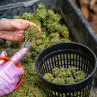 Weed Giveaway - for Covid Vaccines